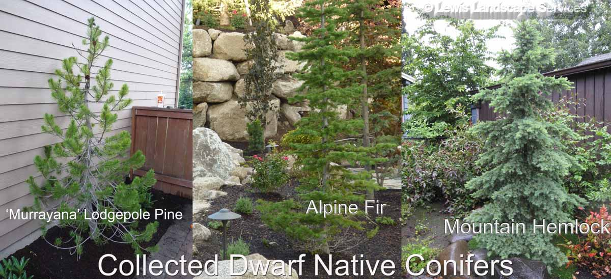 Collected Dwarf Oregon Native Conifers