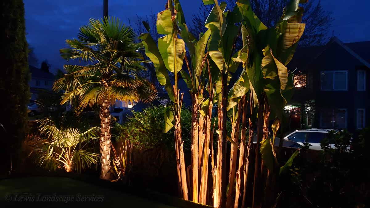 Outdoor Lighting on Hardy Banana Tree & Palm Trees We Installed in Beaverton
