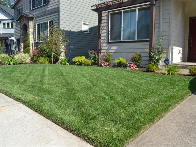 New Sod Lawn, 2 Weeks After Installation