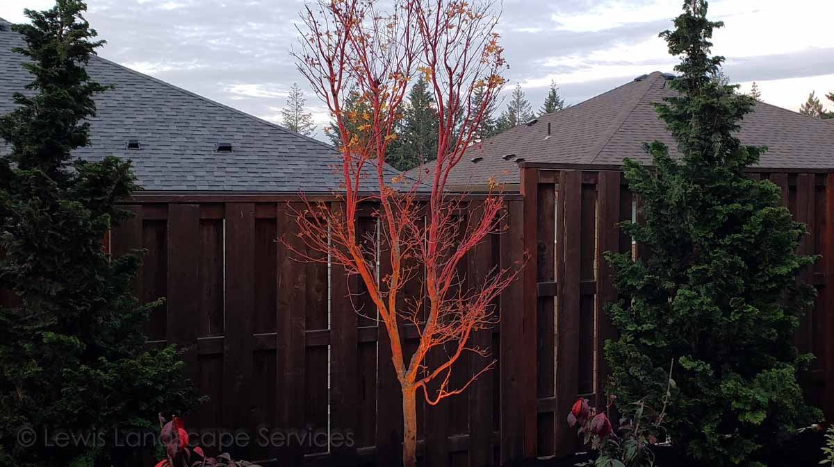 Coral Bark Jap. Maple with Night Lighting