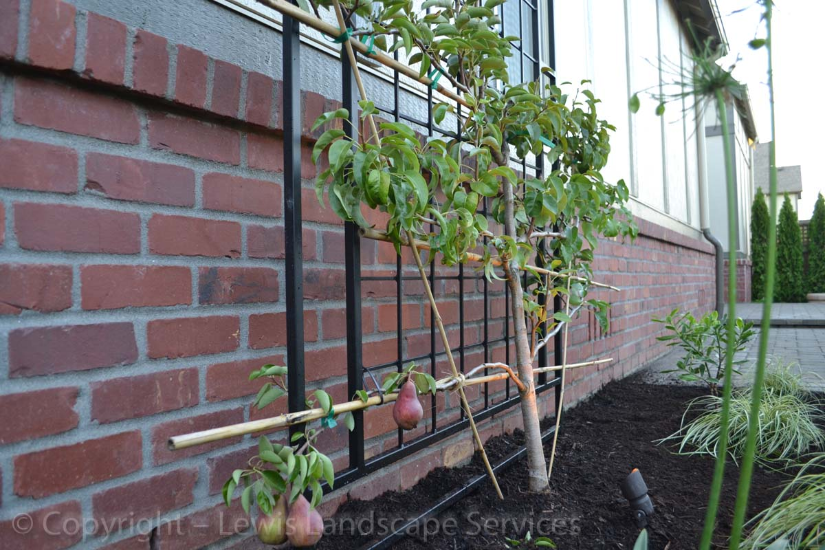 Espallier Pear Tree