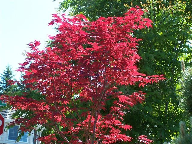 Upright Japanese Maple