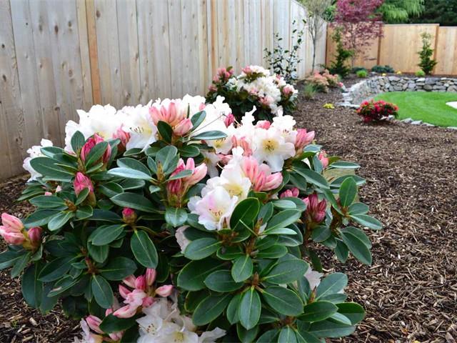 Rhododendron 'Unique'