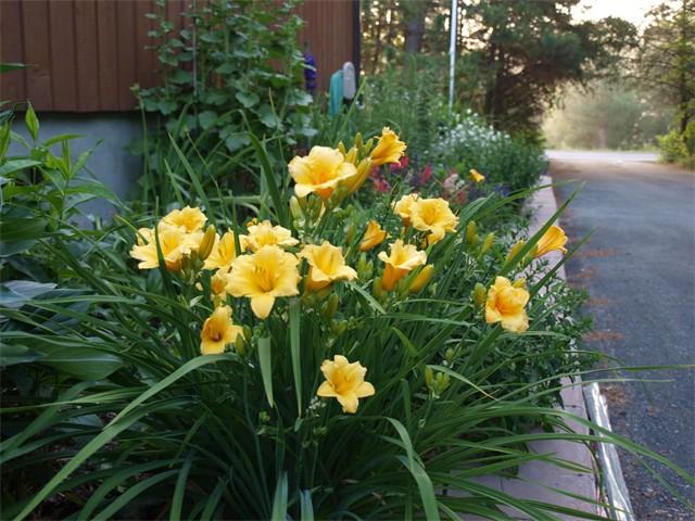 Dwarf Golden Daylilly