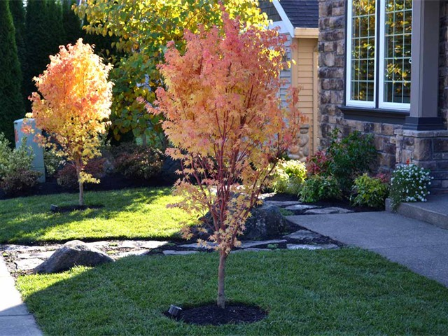 'Coral Bark' Japanese Maples