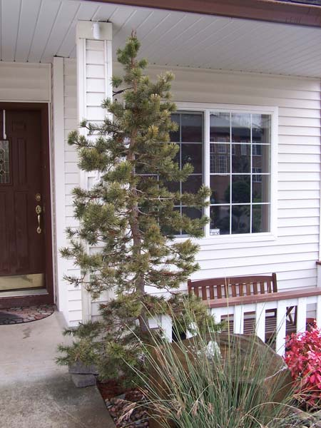 Samples-highlights-of-our-work-murrayana-lodgepole-pine 001